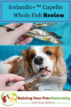 @icelandicplus   Whole Fish Dog Treats are not only healthy but can be used to supplement the omega-3 fats in your dog's diet! #sponsored Learn more by clicking through. #raisingyourpetsnaturally #dogtreats #holisticdogtreats #fishtreats #IcelandicPlusDogs