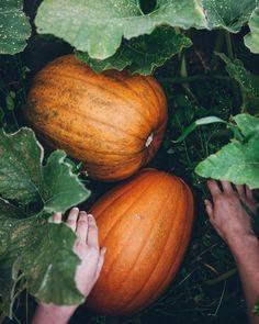 - All For Garden Pumpkin Patch Farm, Planting Pumpkins, Changing Leaves, Autumn Garden, Edible Garden, Fall Harvest, Harvest Moon, Autumn Inspiration, Autumn Ideas