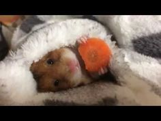 Hamster Eats Carrot in Bed