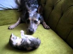 Blue Heeler and Tiny Kitten Playing Together - YouTube