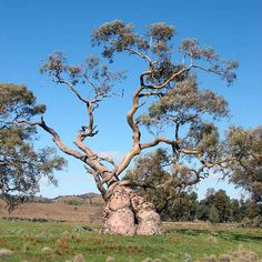 Gumtrees, Wilpena Pound Terra Australis, European Map, Modern Names, Land Of Oz, South Australia, Continents, North West, West Coast, New Zealand