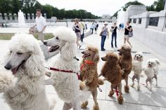 Google Image Result for http://2.bp.blogspot.com/-dHGb0SMgHhc/Tt5Ilw8SI4I/AAAAAAAADBs/5FOwCsdR9sY/s1600/poodles.jpg
