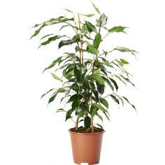 En benjaminfikus som är lättskött och tålig. Långa sirliga grenar med skinande grönt bladverk. Mycket vackert växtsätt. ...