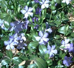 Beware of These Plants! Photos of Invasive Species: Vinca Minor Groundcover: Option for Shade
