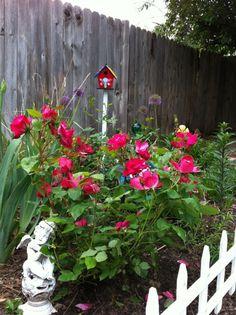 My new Knockout rose bushes. #GrowSomething