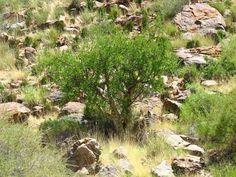 Commiphora tenuipetiolata