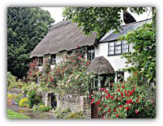 Beautiful example of an English thatched [combined with contemporary attachment] cottage adorning colourful roses.