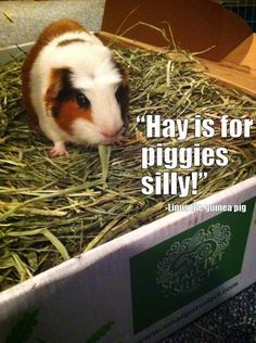 Small Pets... Hay is for guinea pigs silly! Linus the guinea pig loves his timothy hay from Small Pet Select!