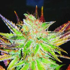 Medical Seeds marihuana Prozack_repinned by ~Ouija onto ~Medical Marijuana~