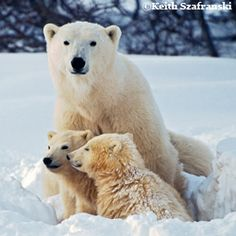 After record low arctic ice this fall, female polar bears with young cubs are frantically looking for food after climate change caused record low ice in the fall when they needed to be hunting. But Pres. Obama is considering limits to pollution from coal fired power plants -our nation's largest source of carbon pollution. Help protect polar bears: sign the petition to Pres. Obama, urging him to limit carbon pollution from coal fired power plants.