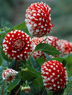 ~~ Red and White Dahlia Garden • pompon dahlias • by Eric Hunt ~~