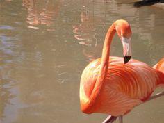 Beautiful bright orange flamingo at the San Diego zoo