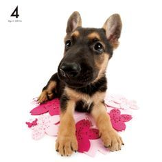 Artlist Collection THE DOG German shepherd dog calendar