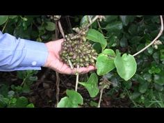 How to properly remove MADEIRA VINE (Anredera cordifolia) PITTWATER ECOWARRIORS 3 - YouTube