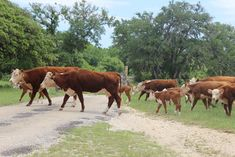 Storm Ranch - Located in northern Hays county, the beautiful Storm Ranch is a 5,685-acre tract of working cattle ranch. It boasts ancient rock fences separating patures of native grasses, magnificent live oaks, and almost 20 miles of small creeks and streams.