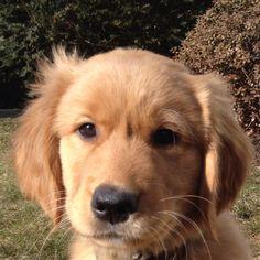 aww baby golden puppy