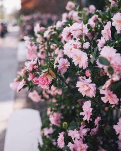 Winter blooms of Charleston  #winterblooms #charleston #southcarolina #pink