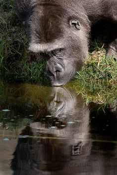Gorilla by Theo Kruse Primates, Gorillas In The Mist, Types Of Monkeys, Silverback Gorilla, Mountain Gorilla, Most Beautiful Animals, African Animals, Animal Photography, Gatos