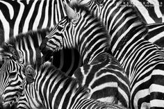 Zebra - Masai Mara by vanbikkel, via Flickr