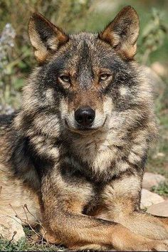 8621ee0d Stop killing Wolves! !!! Fauna Silvestre, Wolf Spirit, Wolf Love,