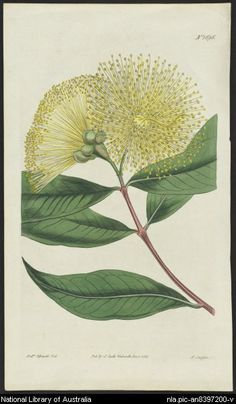 Sansom, F.; [Eucalyptus flowers] [picture]; Walworth [England] : Pub. by S. Curtis, 1815. 1 print: engraving, hand col.; 23.5 x 13.8 cm.