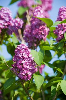 Bloomerang Lilac-blooms mid-May and then July-frost, tall Dwarf Flowering Shrubs, Trees And Shrubs, Bloomerang Lilac, Fast Growing Shrubs, Lavender Blossoms, Backyard Landscaping, Landscaping Ideas, Backyard Ideas, Small Trees