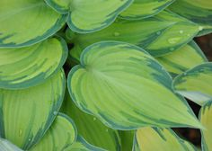 Buy plantain lily Hosta (Tardiana Group) 'June': Delivery by Crocus