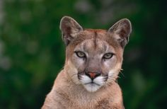 Mountain Lion Roams Close To Busy Daly City Mall « CBS San Francisco