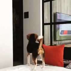 Beagle tries to jump off bed via /r/funny...