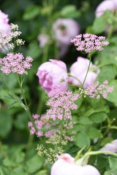 Rose James Galway and Pimpinella Rosea