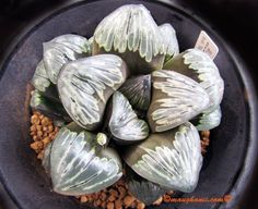 Haworthia 'Silver Mutica'