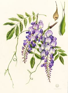 Wisteria. From the collection of botanical illustrations of flowers by Wendy Hollender.