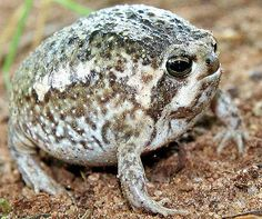South African Rain Frog - Fattest Round Ball of Frog | Animal ...