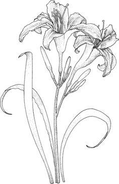 Tige de lys avec deux fleurs Coloriage