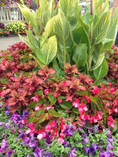 Merveilleux Coleus, Begonias, Variegated Cannas And Petunias Create A Big Wonderfully  Colorful Garden.