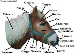 Equestrian infographic to help riders choose the color of the equipment of their horses – Olivier Morel – Art Of Equitation Horse Anatomy, Animal Anatomy, English Riding, Advanced Style, Do Exercise, Animal Wallpaper, Equestrian Style, Horse Tack, Horse Riding