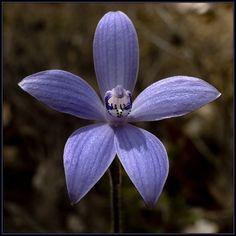 Silky-Blue Orchid: Cyanicula sericea >> http://amykinz97.tumblr.com/ >> www.troubleddthoughts.tumblr.com/ >> https://instagram.com/amykinz97/ >> http://super-duper-cutie.tumblr.com/
