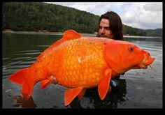 Funny pictures about Giant Orange Koi Carp. Oh, and cool pics about Giant Orange Koi Carp. Also, Giant Orange Koi Carp photos. Photoshop, Koi Carp, Delphine, Wtf Fun Facts, Random Facts, Tier Fotos, Carp Fishing, Saltwater Fishing, Big Fish