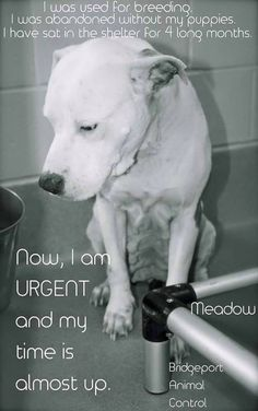 Shelter Connecticut Page Liked · 23 hrs · THIS IS A FINAL S.O.S. FOR MEADOW — A SWEET, THROWAWAY MAMA GROWING FRANTIC IN THE BRIDGEPORT SHELTER. BUT THEY ARE OPEN TODAY FROM 10 TO 4 — SO LET'S GET HER OUT! Meadow is extremely URGENT, having been at Bridgeport Animal Control in CT for over 4 months. Does anyone know what that does to a dog's spirit? cry emoticon