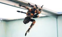 Potential painkiller in spider venom - Researchers screened more than 100 spider toxins and identified a protein from the venom of the Peruvian green velvet tarantula that blunts activity in pain-transmitting neurons.The findings, reported in the journal Current Biology, show the new screening method used by the scientists has the potential to search millions of different spider toxins for safe pain-killing drugs and therapies.