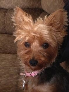 #yorkie #dogs ( this looks like Buster but it's not my dog) I miss him RIP <3
