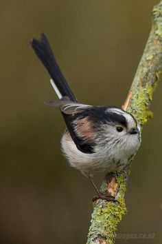 Long-tailed Tit...one of my favourite birds ❤️