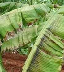 Banana Phosphorus