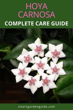 How to grow Hoya carnosa. This step by step Hoya care guide covers all aspects of growing Hoya carnosa, including how to deal with many of the common problems. Indoor Flowering Plants, Blooming Plants, Container Gardening, Gardening Tips, Hindu Rope Plant, Kitchen Plants, Smart Garden, Pot Plants, House Plant Care