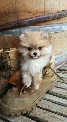 Pomeranian puppy!