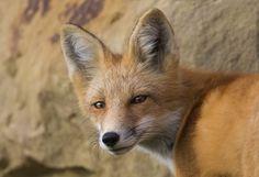 Red Fox by Walter Nussbaumer on 500px