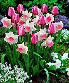 Narcisos y tulipanes