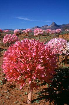 Brunsvigia bosmaniae, flowering en masse after good autumn rains on the Knersvlakte, Namaqualand, Northern Cape, South Africa. [photo Colin Paterson-Jones ©]