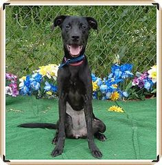 Marietta, GA - Labrador Retriever Mix. Meet NONNA, a dog for adoption. http://www.adoptapet.com/pet/12939173-marietta-georgia-labrador-retriever-mix