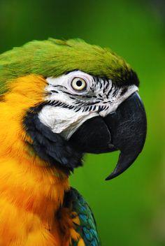 Blue and Gold Macaw, Cincinnati Zoo, Trinidad